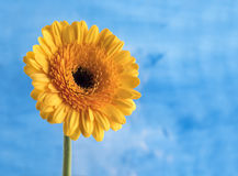 Margarita amarilla en un fondo azul Fotografía de archivo