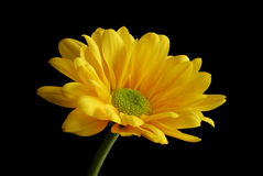 Margarita amarilla grande Imagen de archivo libre de regalías