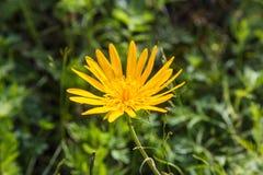 Margarita amarilla grande en el campo entre la hierba, Altai, Rusia imagen de archivo libre de regalías
