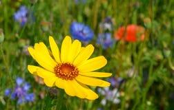 Margarita amarilla hermosa Imágenes de archivo libres de regalías