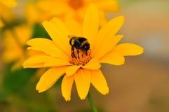 Margarita amarilla hermosa con una abeja Imagenes de archivo