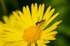 Margarita amarilla hermosa, ojo de buey, con una abeja Imagen de archivo