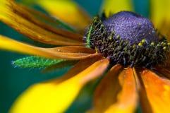 Margarita amarilla (hirta del Rudbeckia) Foto de archivo libre de regalías