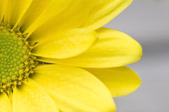 Margarita amarilla macra imagenes de archivo