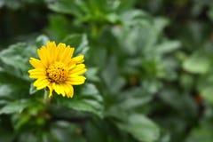 Margarita amarilla sola con la hierba Fotografía de archivo libre de regalías