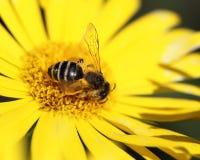 Margarita amarilla y una abeja en ella Imagen de archivo