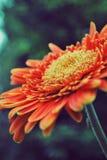 Margarita anaranjada Imagen de archivo