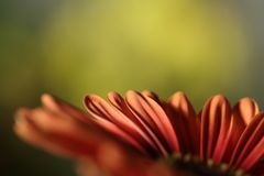 Margarita anaranjada Imágenes de archivo libres de regalías