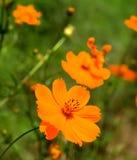 Margarita anaranjada Fotografía de archivo