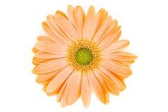 Margarita anaranjada aislada de Gerber Imágenes de archivo libres de regalías