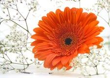 Margarita anaranjada de Gerber Imagen de archivo libre de regalías