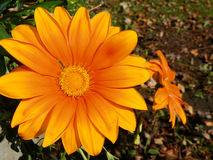 Margarita anaranjada del gerbera Imagen de archivo