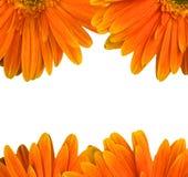 Margarita anaranjada del gerbera aislada en blanco Fotos de archivo
