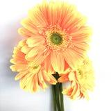 Margarita anaranjada del gerbera en blanco Fotos de archivo libres de regalías