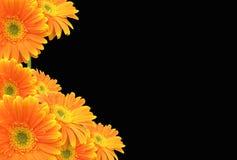 Margarita anaranjada del Gerbera en fondo negro Foto de archivo