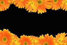 Margarita anaranjada del Gerbera en fondo negro Imagen de archivo libre de regalías