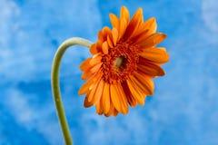 Margarita anaranjada en un fondo azul Fotografía de archivo