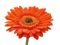 Margarita anaranjada grande del Gerbera Imagenes de archivo