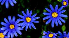 Margarita azul Imágenes de archivo libres de regalías