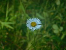 Margarita Bellis perennis against green background stock photo