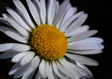 Margarita bien iluminada adentro en la plena floración Foto de archivo libre de regalías
