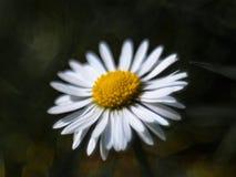 Margarita bien iluminada adentro en la plena floración II Fotos de archivo libres de regalías