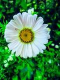 Margarita blanca Fotografía de archivo libre de regalías