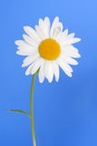 Margarita blanca Foto de archivo libre de regalías