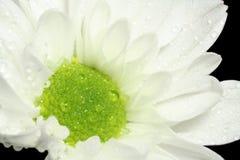 Margarita blanca Imagen de archivo