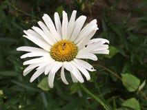 Margarita blanca Imágenes de archivo libres de regalías