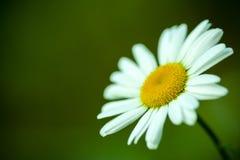 Margarita blanca aislada contra fondo verde Imagen de archivo