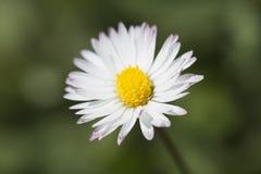 margarita blanca 361/5000Common fotografiada cerca para arriba Imagen de archivo libre de regalías