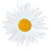 Margarita blanca con el centro amarillo aislado en blanco Imagenes de archivo