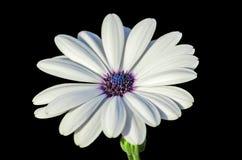 Margarita blanca del cabo con el centro púrpura Fotos de archivo
