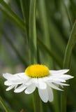 Margarita blanca del Gerbera contra follaje verde Imagenes de archivo