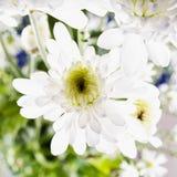 Margarita blanca en cierre para arriba fotos de archivo libres de regalías