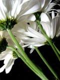 Margarita blanca en fondo negro Imagen de archivo libre de regalías