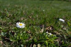Margarita blanca en un fondo de la hierba verde Foto de archivo libre de regalías