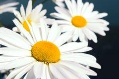 Margarita blanca hermosa Imagenes de archivo