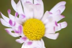 Margarita blanca macra con los pétalos rosados Cierre para arriba Fotografía de archivo