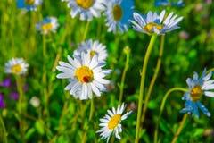 Margarita blanca y mariquita hermosas en prado verde del verano Fotos de archivo libres de regalías