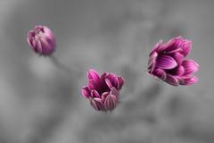 Margarita-Blumen im Schwarzweiss-Hintergrund Stockfotografie