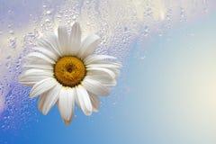 Margarita con descenso en lluvia Foto de archivo libre de regalías