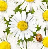 Margarita con el ladybug Fotografía de archivo libre de regalías
