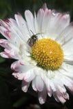 Margarita con la abeja (perennis del Bellis) Fotos de archivo