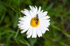 Margarita con un pequeño insecto Foto de archivo