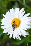 Margarita con un pequeño insecto Fotografía de archivo