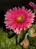 Margarita de Barberton rosada Fotografía de archivo libre de regalías