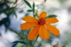 Margarita de cobre del barranco, lemmonii de Tagetes imagenes de archivo
