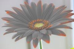 Margarita de Gerber gerberas anaranjados o rojos de la flor en una maceta en la ventana plantas caseras, proceso largo del cuidad imagen de archivo libre de regalías